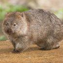The Mystery of Native Australian Wombats